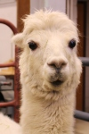 Alpaca Sees You